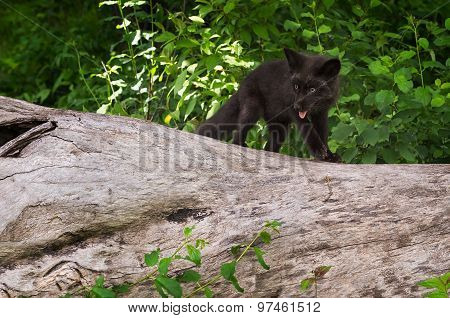 Young Silver Fox (vulpes Vulpes) Atop Log