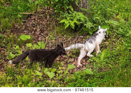 Young Silver Fox Chases After Young Marble Fox (vulpes Vulpes)