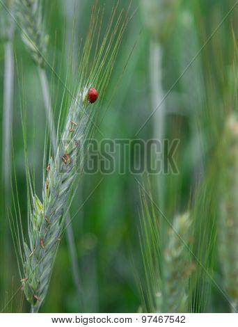 Ladybird on a wheat field