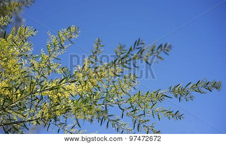 Sunny Day Background Australian Wattle
