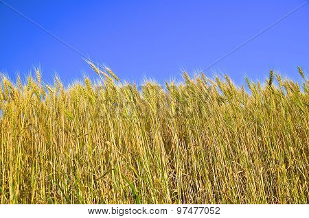 Field of ripening wheat