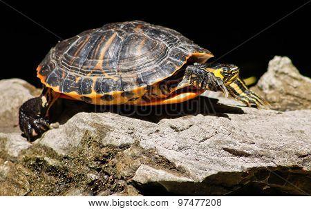 Turtle On Rocks
