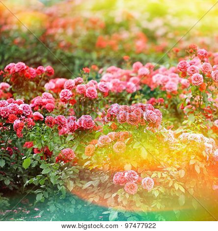 Beautiful Roses Garden. Summer Flowers. Vintage Style Toned Picture