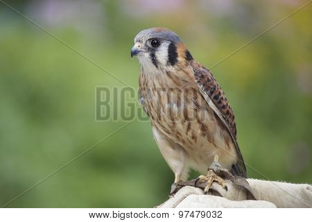 Summer Kestrel