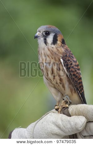 Perching Kestrel