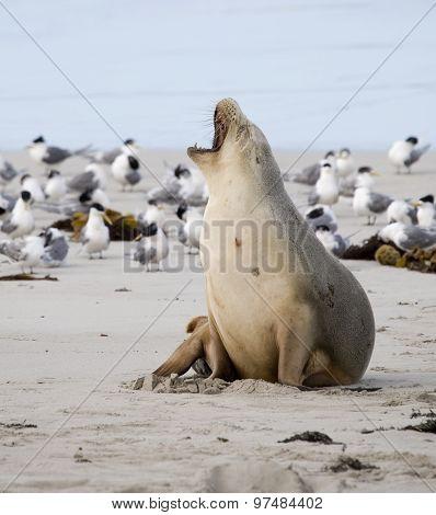 Sea lion yawning