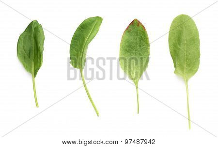 Green polygonaceae sorrel spinach dock leaves