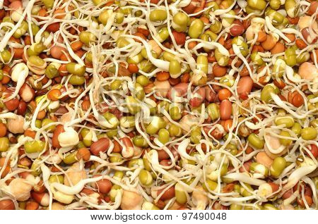 Sprouting Lentils