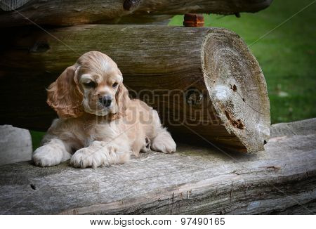cute puppy - american cocker spaniel puppy laying on a rustic wooden log