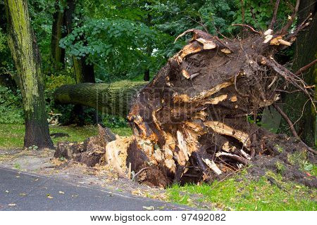 Uprooted Tree After Storm In Park