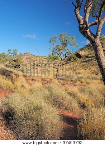 Spinifex grass at the Larapinta trail walk