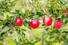 stock photo of orchard  - Red ripe organic apples on tree in orchard healthy food - JPG