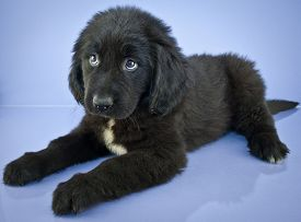 stock photo of newfoundland puppy  - Cute Newfoundland puppy laying on a purple background with a sad look on her face - JPG