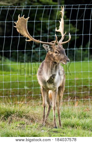 One happy stag deer with a big smile on his face.