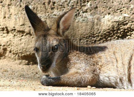 little kangaroo resting