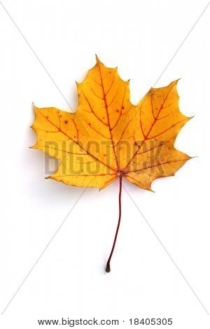 isolated yellow, brown leaf