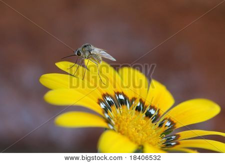 mosquito on a yellow flower