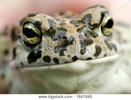 Close Up Of A Common Toad (Bufo)