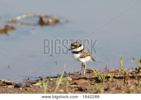 Killdeer Baby