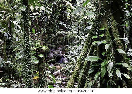 dense tropical rain forest amazon jungle in south america lush vegetation and humid environment with high biodiversity hotspot  and endangered