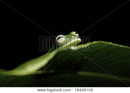 green tree frog hiding behind leaf in tropical rain forest of amazon jungle black background with copy space