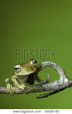 tree frog golden color rainforest amphibian on branch background copy space