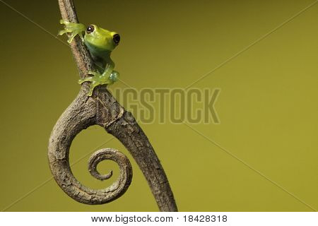 green tree frog amphibian treefrog tropical amazon rainforest branch copy space background twig with curled spine beautiful night animal of amazon rain forest exotic jungle species nocturnal