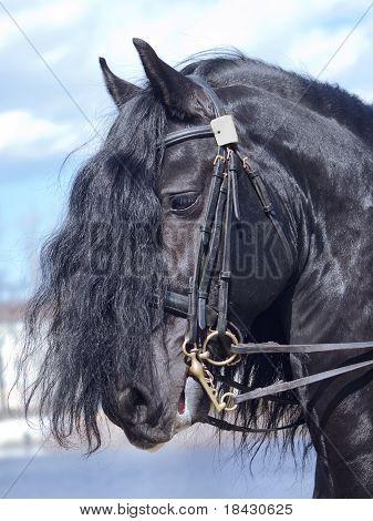 portrait of frisian horse
