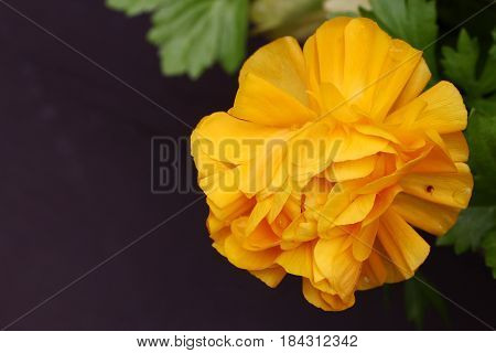Top view of Yellow Buttercup or Ranunculus flower with copy space selective focus