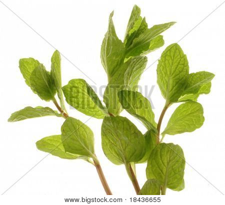 mint plant - isolated