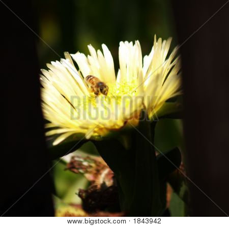 A Bee And A Yellow Flower