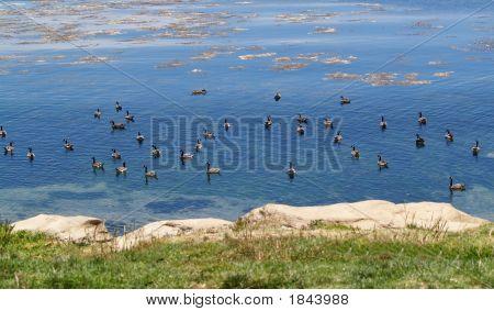 Goose Exodus