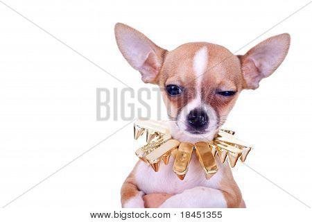 Suspicious Chihuahua Puppy