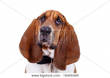 Basset Hound Dog Face