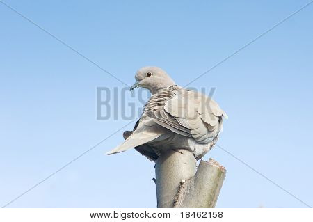 collared dove on top of a branch / Streptopelia decaocto
