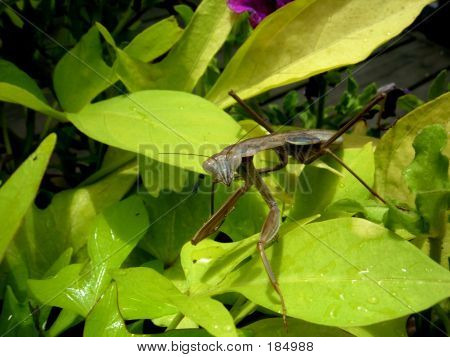 Mantis On A Leaf