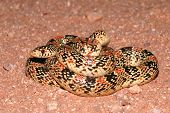 picture of harmless snakes  - A brightly colored longnose snake coiled up in the sand - JPG