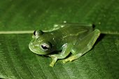 picture of glass frog  - glass frog hyalinobatrachium in bolivian rain forest - JPG
