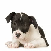 picture of pit-bull  - American Staffordshire terrier sitting in front of a white background - JPG
