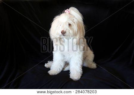 poster of White dog. Small white dog portrait on black velvet background. Room for text.