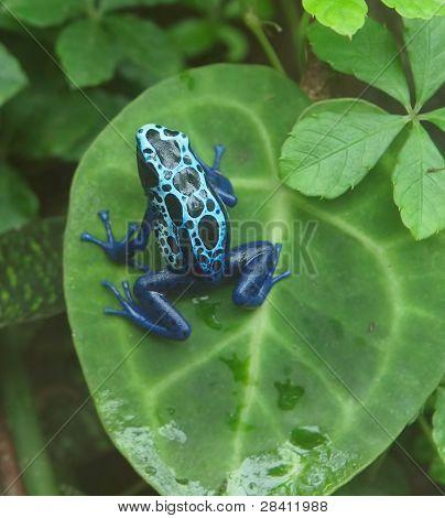 Dyeing Poison Dart Frog ((dendrobates Tinctorius)