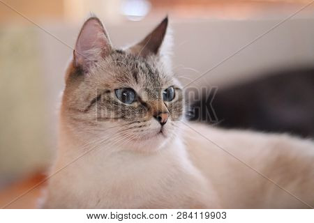 poster of Cute Cat In The Living Room. The Beige Cat With Blue Eyes. Lovely Pet. Portrait Of A Young Light Bei