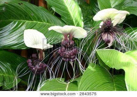 White Bat Plant
