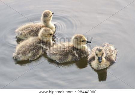 Four Fluffy Goslings