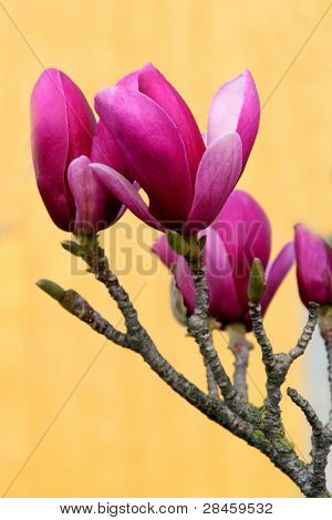 Blossoming Magnolia - spring in Portugal
