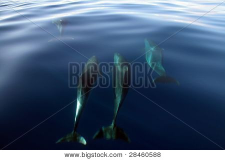 Dolphin in the blue ocean