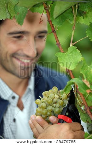 Grape grower cutting a bunch of grapes