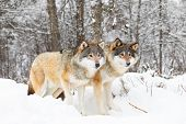 Two Magnificent Wolves In Wolf Pack In Cold Winter Forest poster