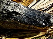 picture of jaw drop  - Jaw dropping close up on an alligator - JPG