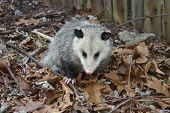 stock photo of possum  - Possums invade our suburban home and yard - JPG